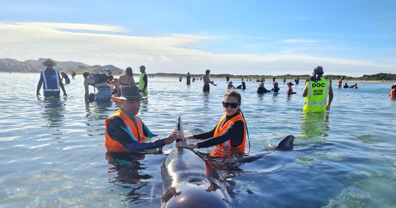49 waleni utknęło na plaży w Nowej Zelandii