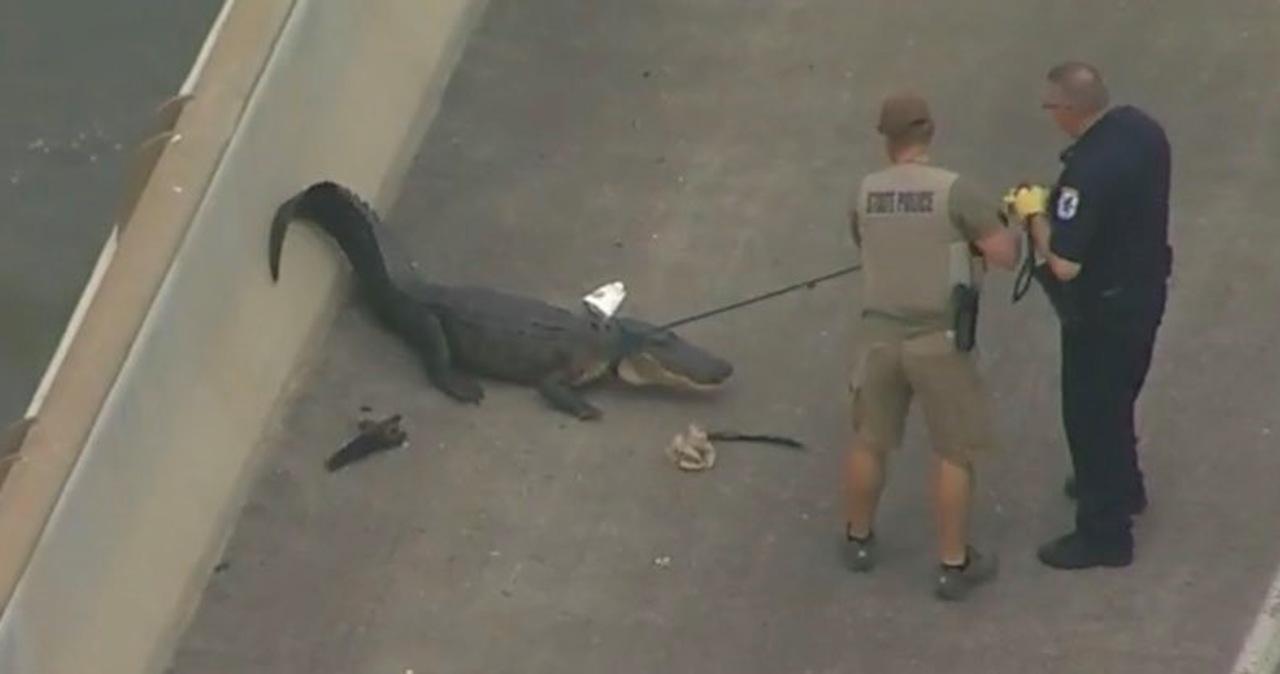 Zablokowany ruch na moście w Teksasie. Powodem... aligator