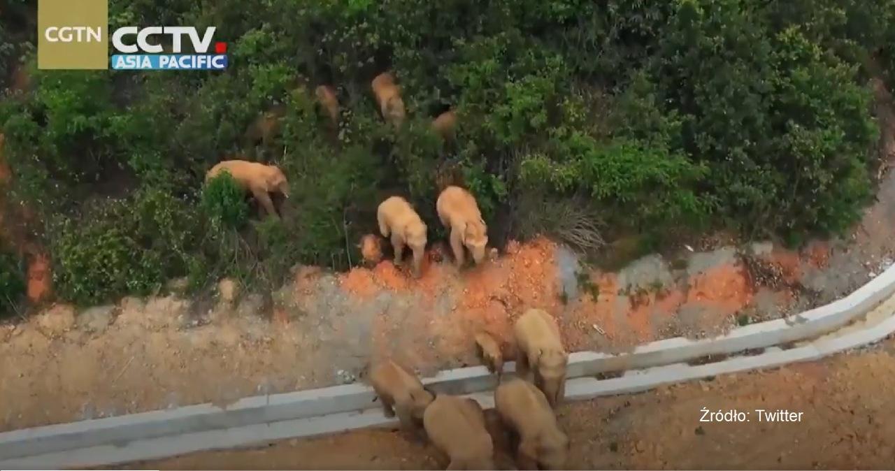 """Stado słoni """"na gigancie"""". Pokonały już 500 km, sieją spustoszenie"""
