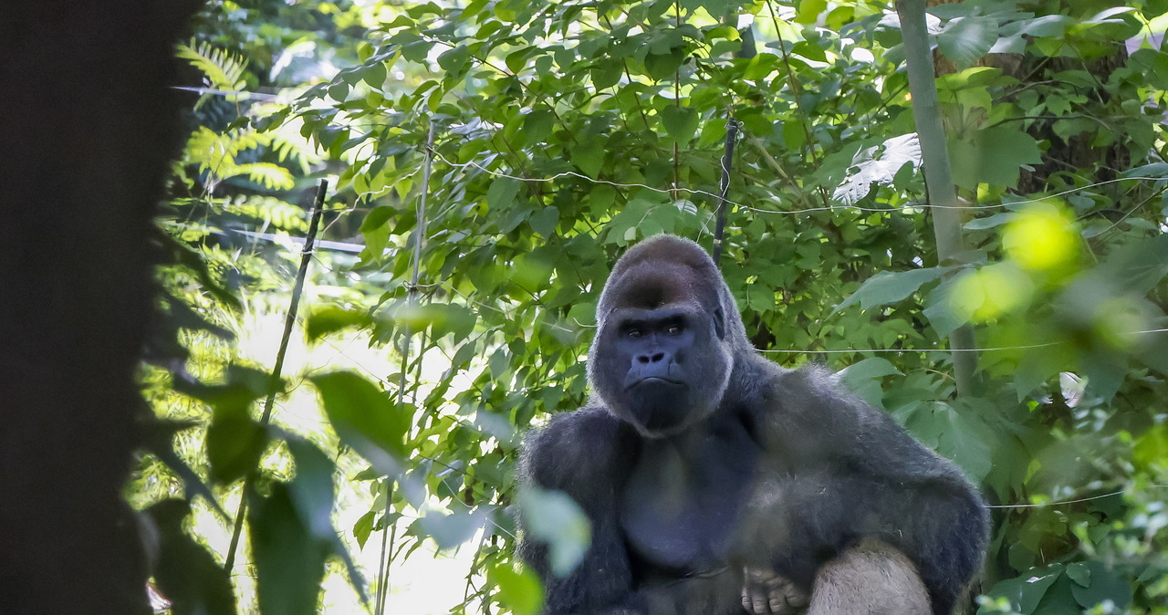 Goryle z koronawirusem Delta. Małpy zostaną zaszczepione