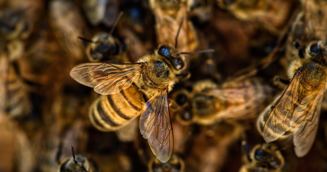 Otruli 420 tys. pszczół i zniszczyli ule. Policja szuka sprawców