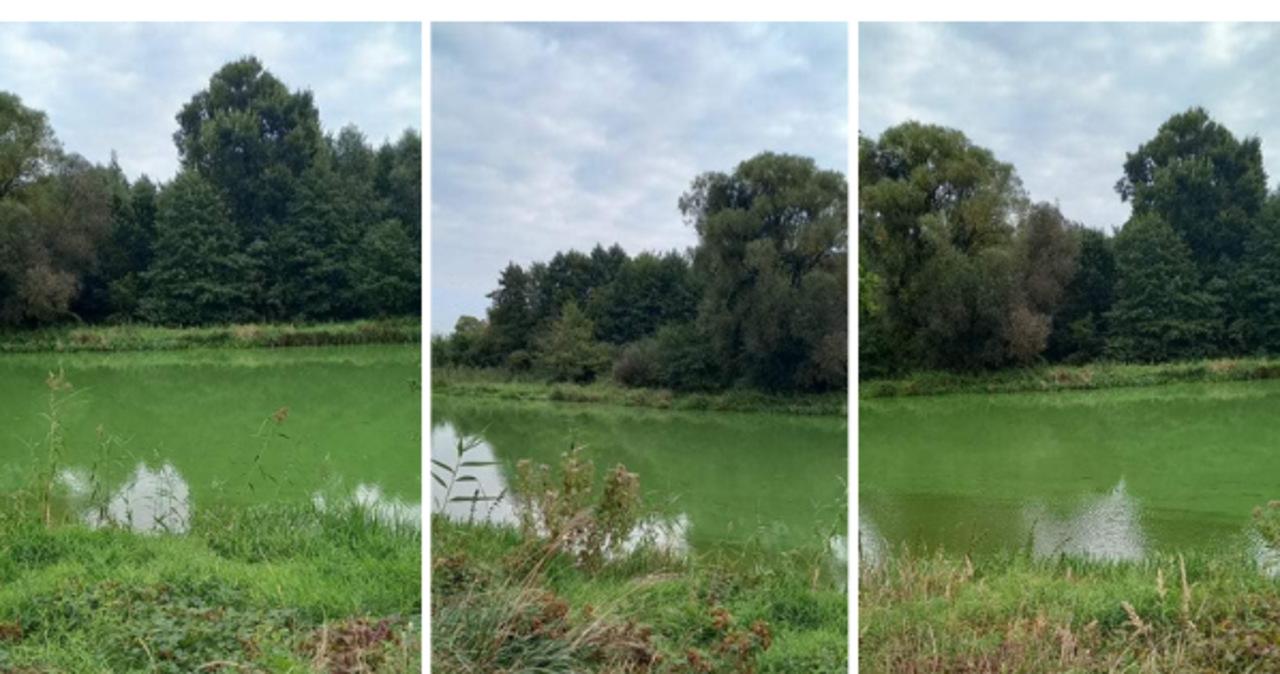 Rzeka Prosna zmieniła kolor na zielony. Powodem sinice