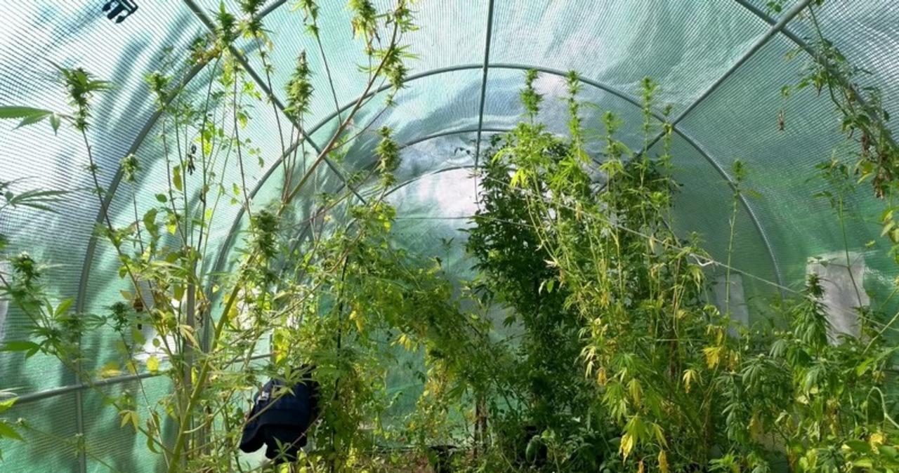 Marihuana między pomidorami. Nietypowa uprawa w Lesznie