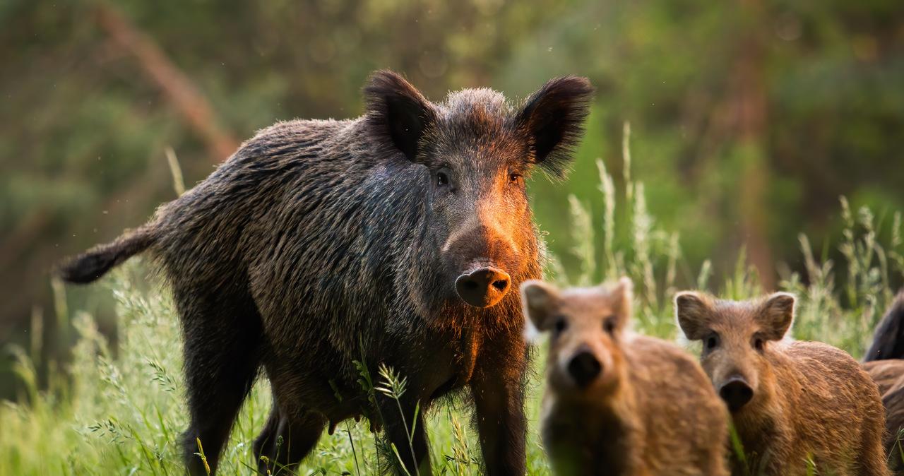 Siarka: W siedmiu powiatach dziki zostaną całkowicie odstrzelone