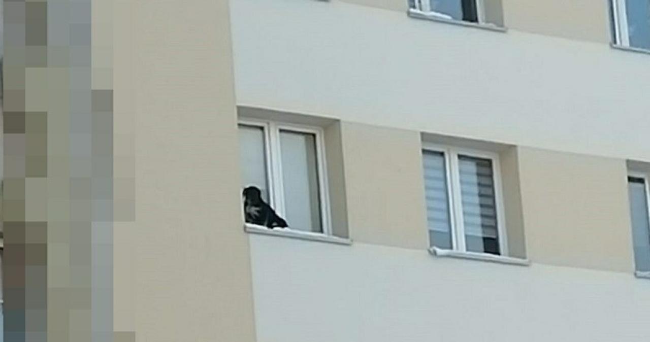 Wystawił psa na parapet na 9. piętrze. Sąd skazał go na więzienie